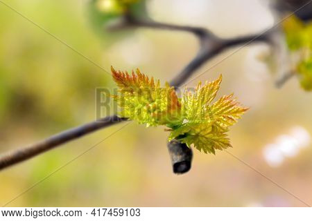 Macro Close Up Of New Grapevine Shoot Isolated Against Out Of Focus Colorful Background.