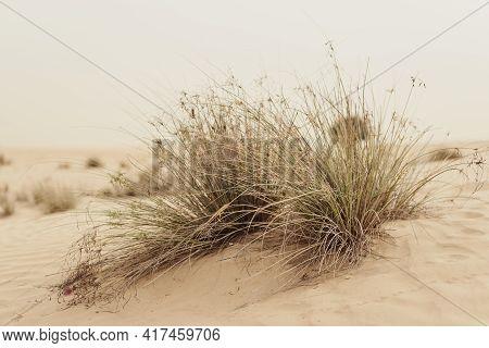 Plants Growing In Sandy Desert, Dubai, United Arab Emirates. Desert Vegetation