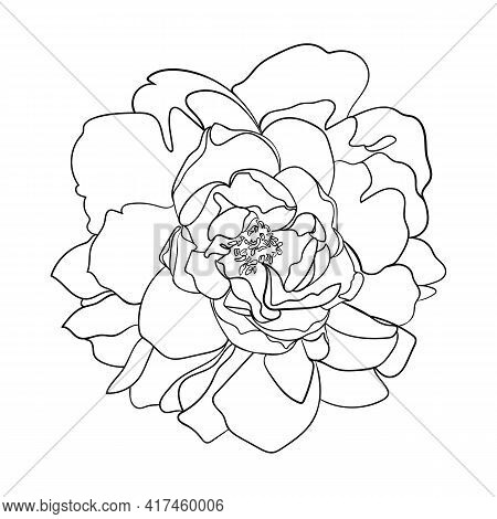 Peony Flower. Line Drawing. - Vector  Illustration