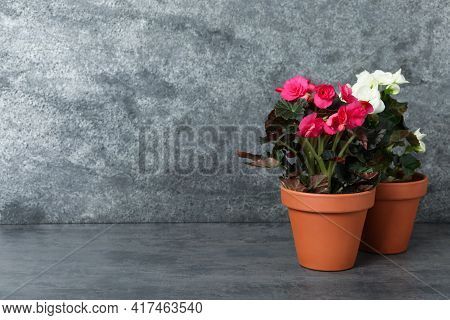 Beautiful Blooming Pelargonium Plants In Flower Pots On Grey Table, Space For Text
