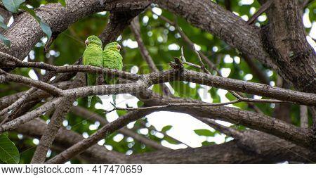 Maritaca Bird From Brazil, Couple Of Birds In Brazil In Love, Selective Focus.