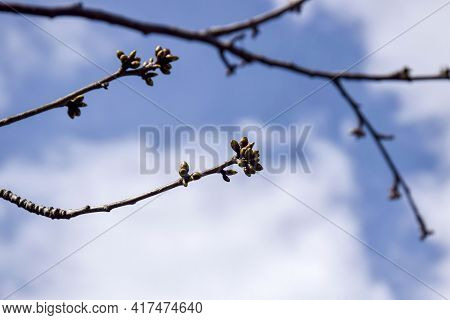 Cherry Branches With Swollen Buds Against Cloudy Sky. Fruit Trees In Orchard In Early Spring. Beginn