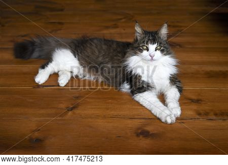 Happy Close Up Of Old Maine Coon Cat Laying On A Hardwood Floor  Looking Into The Camera From Eye Le