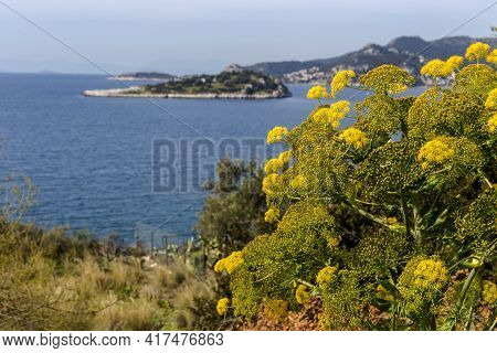 Unusual, Useful Plant (ferula Communis) With Yellow Inflorescences Grows In Its Natural Habitat Agai
