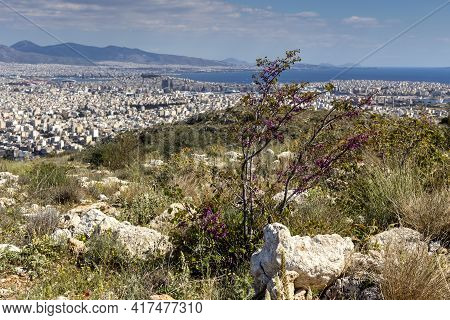 A Tree Branches (cercis Siliquastrum) With Pink Flowers Blooming Against A Mountains And City In A S