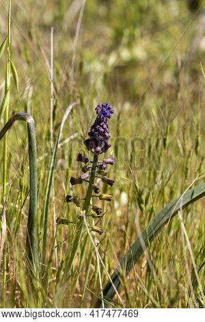 A Small Plant (muscari Comosum) Grows In The Mountains In Its Natural Habitat Close-up On A Spring D