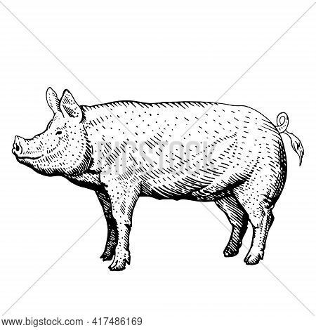 Pig Sketch, Freehand Drawing, Vector Black And White Illustration. Pig Icon On White Background, Iso