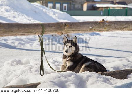 The Siberian Husky, Mans Faithful Friend, Lies In The Snow. The Fearless Hunter Dog Is Waiting For I