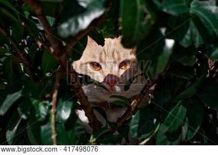 Tabby Cat With Big Shiny Yellow Eyes Hides Behind Green Branches Gazes Intently At The Camera