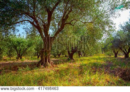 View On The Canopies Of Green Olive Trees At Plantation.