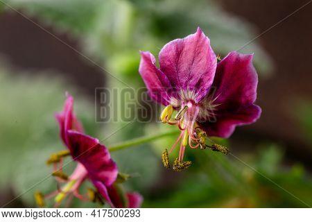 Purple Geranium Phaeum Samobor Dusky Cranesbill Flowers In Spring Garden.