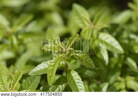 Lemon Verbena Leaves - Latin Name - Aloysia Citriodora (aloysia Triphylla)