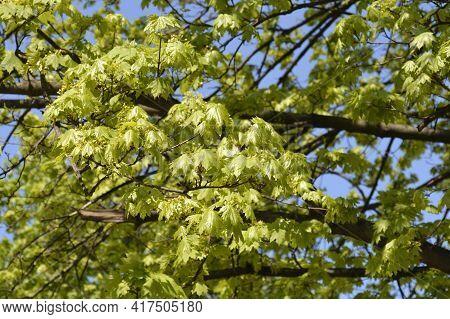 Norway Maple - Latin Name - Acer Platanoides