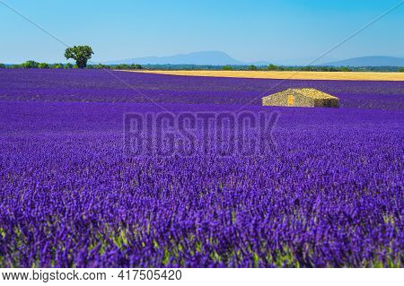 Idyllic Summer Travel And Photography Place, Amazing Violet Lavender Fields And Old Stone House, Val