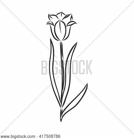 Hand Drawn Tulips. Vector. Tulip, Vector Sketch