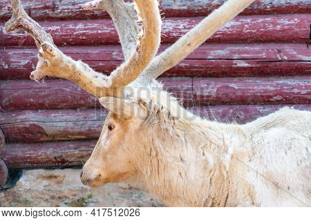 Hairy Deer Damaged Antlers In Spring. White Old Deer Close-up. Deer Albino