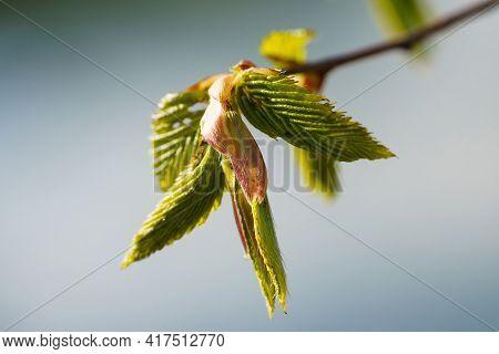 Spring Bud Macro View, Springtime Seasonal, Macro. Budding Tree With Red Young Leaf.