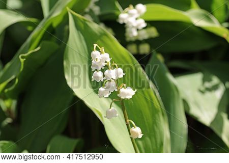 Lily Of The Valley, Convallaria Majalis, White Flowers On A Spike With A Blurred Background Of Leave