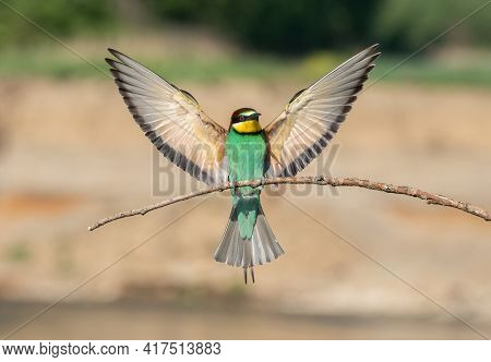 Beautiful Nature Scene With European Bee-eater Merops Apiaster. Wildlife Shot Of European Bee-eater
