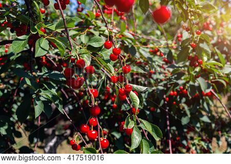 Detail Of Many Fruit Trees With Green Leaves Twig And Many Red Ripe Tasty Juicy Dessert Cherry Berri