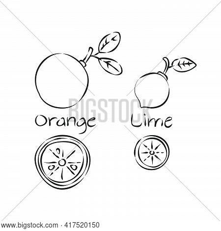 Citrus Fruit In Hand Draw Style On White Background. Line Art. Sketch Botanical Illustration. Orange