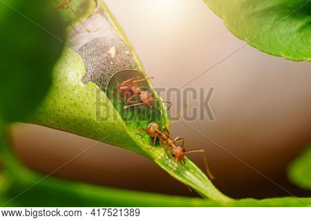 Green Tree Ant Or Weaver Ant Or Red Ant Is Walking Out Of The House Or Nest To Go Out For Food Team