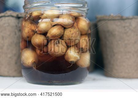 Onions For Harvesting Soaking In Jar With Water With Potassium Permanganate For Disinfection And Awa