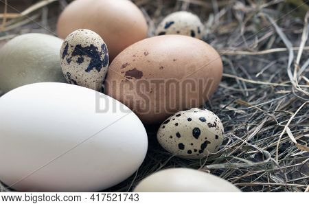 Various Natural Raw Eggs In The Nest. Goose, Quail, Chicken, Pheasant Birds Eggs.
