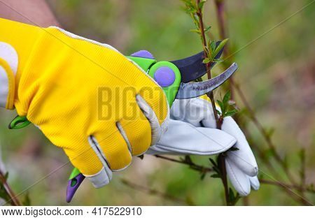 Spring Pruning The Bush. Hands Of Gardener In Gloves With Secateur