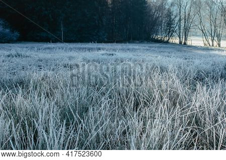 Winter Background Of Frosty Grass In The Morning Copy Space.swamp With Reeds In Hoarfrost Forest In