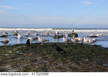 Seagulls Sitting On The Beach. Seagulls With Crows.