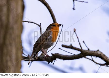 A Small European Robin Or Otherwhise Known As A Erithacus Rubecula Or Robin Redbreast Bird Sitting O