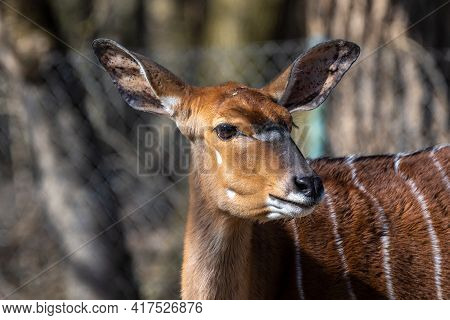 The Nyala, Tragelaphus Angasii Is A Spiral-horned Antelope Native To Southern Africa. It Is A Specie