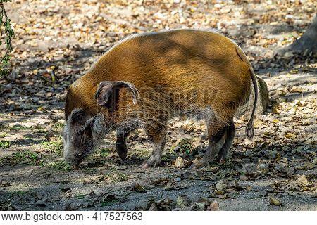Red River Hog, Potamochoerus Porcus, Also Known As The Bush Pig. This Pig Has An Acute Sense Of Smel