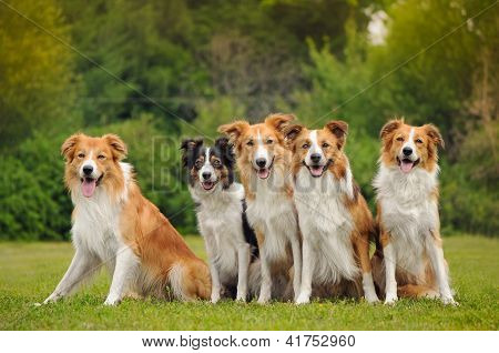 group of five happy dogs border collie sitting on the grass in summer poster