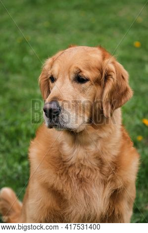 Portrait Of Bright Red Golden Retriever Close-up. Friendly Friendly Large Fluffy Hunting Dog. Walk W