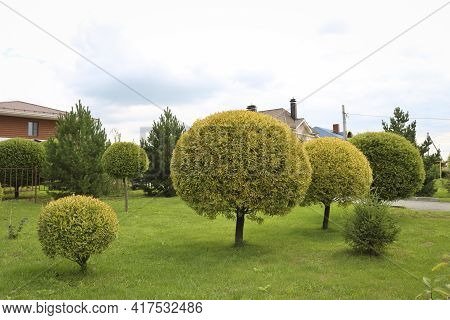 Ornamental Crack Willow Or Brittle Willow (salix Fragilis) Trimmed. The Spherical Crown Of The Tree.