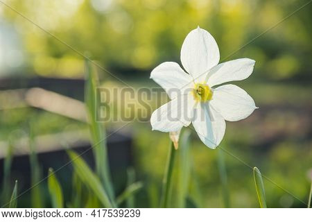 Daffodil In A Spring Garden.narcissus Flowers On A Blurry Background On A Sunny Day. Blooming White