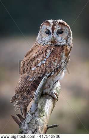 A Close Up Full Length Portrait Of A Tawny Owl, Strix Aluco, Facing Forward And Perched On Top Of An