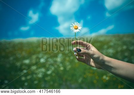 Chamomile Flower In Hand, Nature, Environment. Flower In Blossoming Field. Spring, Chamomile Field.
