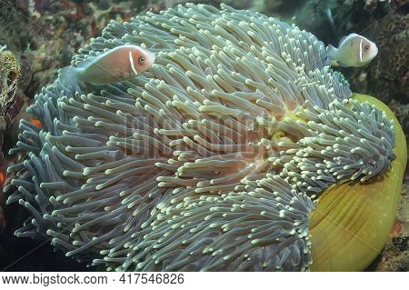 Pink Anemonefish Are Pink In Color With Distinctive White Stripes Along The Dorsal Fin And Near The