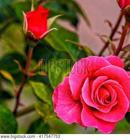 A beautiful rose flower in a rose garden