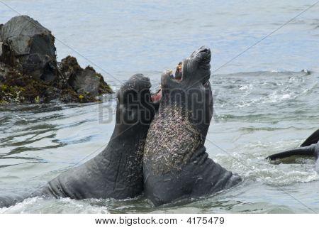 Elephant Seals Sparing On The Beach