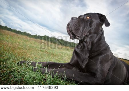 The Cane Corso Dog Lies In The Meadow And Proudly Looks In The Distance