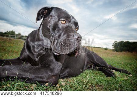 The Cane Corso Dog Relaxes On The Grass