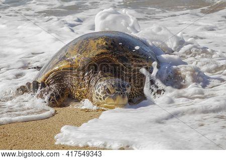 Hawaiian Green Sea Turtle In Splashing Foam Crawling Onto Sandy Beach Close Up.