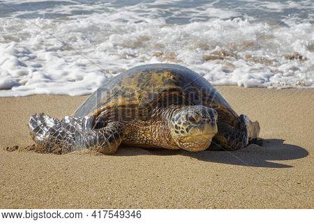 Close Up Low Angle Hawaiian Green Sea Turtle Crawls Onto Sandy Beach From Foamy Surf.