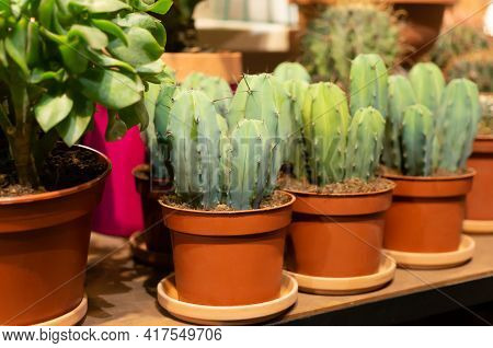 Cacti. Cacti In Clay Pots. Shop With Flowers. Flower Shop. Plant Grower Lemaireocereus