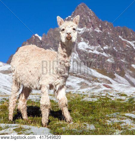 Llama Or Lama On Snowy Mountain, Beautiful Animal Mammal From South America