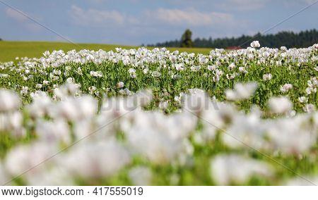Detail Of Flowering Opium Poppy Field In Latin Papaver Somniferum, White Colored Poppy Is Grown In C